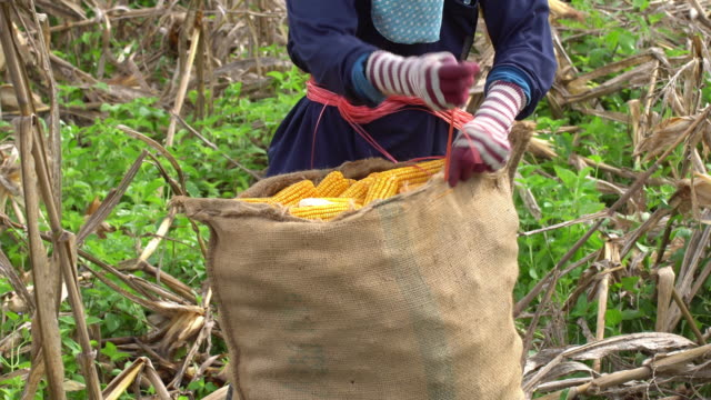 farmer sewing corn sacks - husking stock videos & royalty-free footage