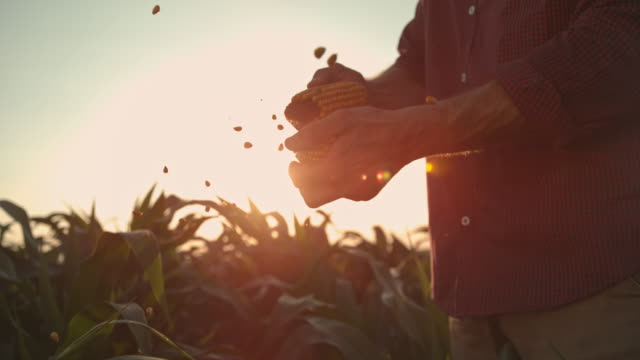 super slo mo farmer shucking corn at sunset - produttore video stock e b–roll