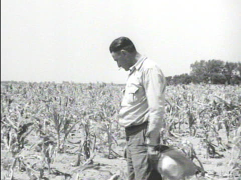 farmer shucking corn ear in short crop field cattle grazing on withered crops vs dried platte river bridge man digging in dry sand river bed w/ stick... - dust bowl stock videos and b-roll footage