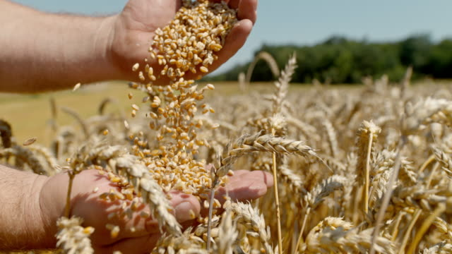 slo mo farmer sifting wheat grains from one hand to another - quality control stock videos & royalty-free footage