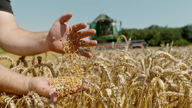 slo mo farmer sifting wheat grains in the field - quality control stock videos & royalty-free footage