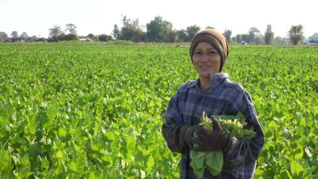 farmer smiling in tobacco field - tobacco product stock videos & royalty-free footage