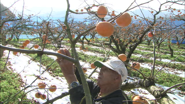 a farmer snips persimmons off of a tree with shears. - 農作業点の映像素材/bロール