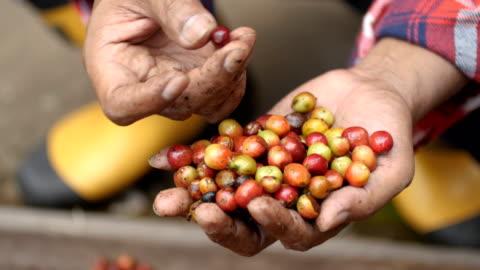 landwirt sortieren, kaffee kirsche. - bean stock-videos und b-roll-filmmaterial