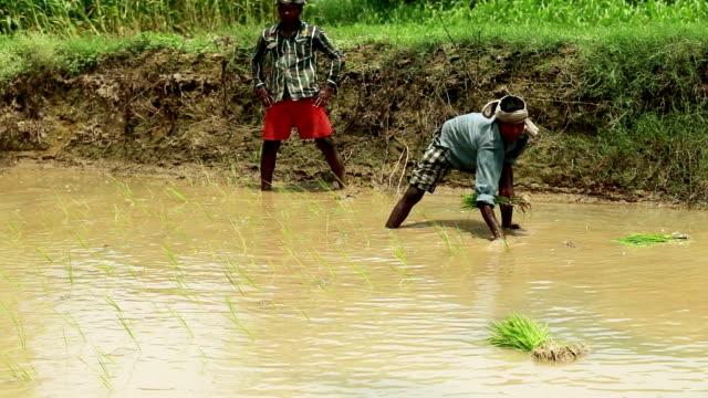 vídeos y material grabado en eventos de stock de agricultores sembrar campo de arroz en el campo de la planta - imagen virada