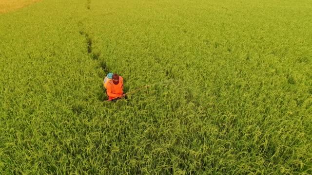 farmer spray the fertilizer in green rice field - fertilizer stock videos & royalty-free footage