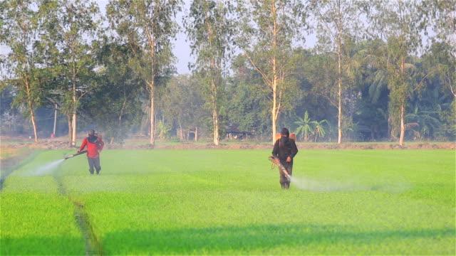 vídeos de stock, filmes e b-roll de agricultor jogando pesticidas na fazenda de arroz - aplicando