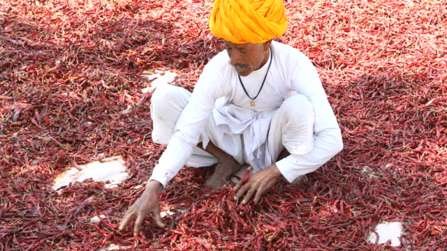 Farmer spreading red chili peppers to dry