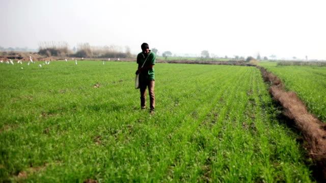 Farmer spreading urea in the field of wheat crop