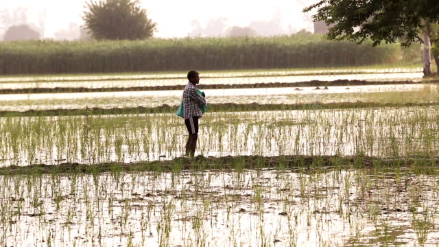 Farmer Spreads fertilizers in the Field of Paddy Rice plants.