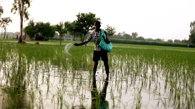 farmer spreads fertilizers in the field of paddy rice plants. - spreading stock videos & royalty-free footage