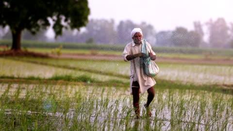 farmer sprider gödsel i fältet av paddyris växter - indien bildbanksvideor och videomaterial från bakom kulisserna