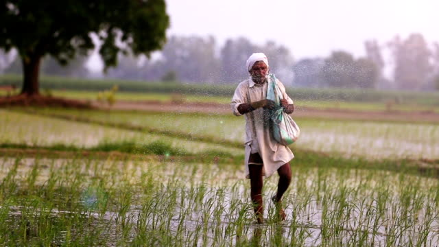 Farmer Spreads fertilizers in the Field of Paddy Rice plants