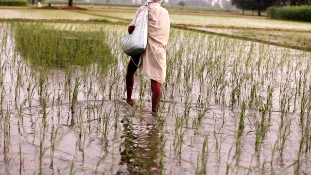 farmer spreads fertilizers in the field of paddy rice plants - spraying stock videos & royalty-free footage