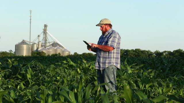 stockvideo's en b-roll-footage met ws pan farmer standing in cornfield using tablet computer / eastville, virginia, usa - virginia amerikaanse staat