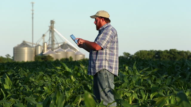 WS PAN Farmer Standing in Cornfield Using Tablet Computer / Eastville, Virginia, USA