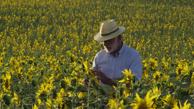MS Farmer standing in field of sunflowers, checking one plant / Carmona, Andalusia, Spain