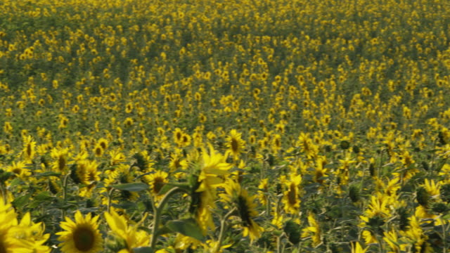 pan farmer standing in field of sunflowers, checking one plant - 帽子点の映像素材/bロール