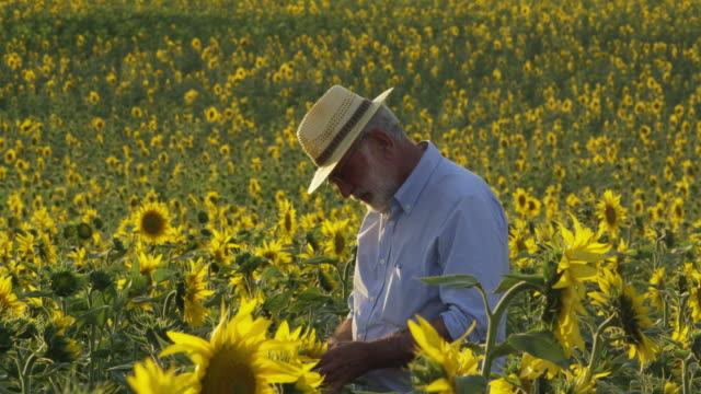 farmer standing in field of sunflowers, checking plants; looks up and to camera, smiles briefly carries on and walks out of frame - only mature men stock videos & royalty-free footage