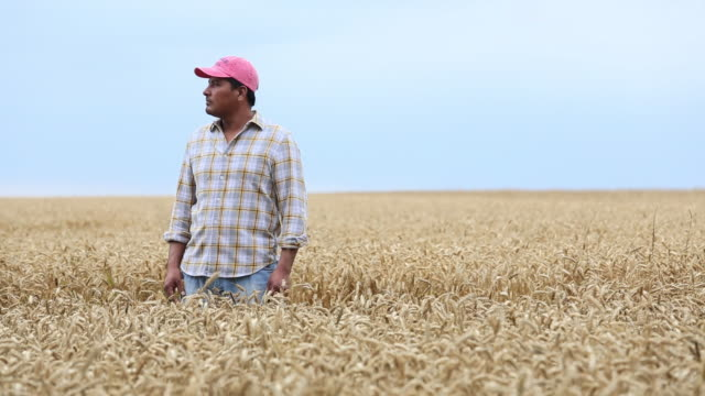 ms ds farmer standing in field of wheat, looking off into distance / oyster, virginia, usa - lavoratore emigrante video stock e b–roll