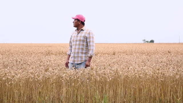 ws ds farmer standing in field of wheat, looking off into distance / oyster, virginia, usa - lavoratore emigrante video stock e b–roll
