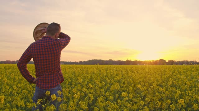 farmer standing in tranquil,idyllic,rural canola field at sunset,real time - rubbing stock videos & royalty-free footage