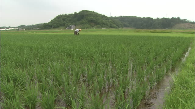 a farmer stands in shallow water as he works in a rice paddy. - 秋田県点の映像素材/bロール
