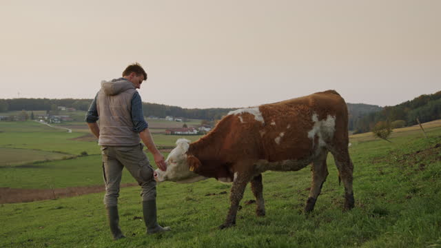 slo mo farmer stroking his domestic cow on a pasture - stroking stock videos & royalty-free footage