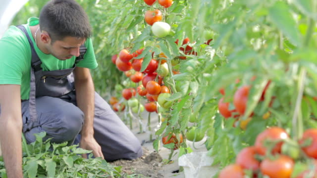 vídeos de stock, filmes e b-roll de agricultor cuidar de tomate em estufa - tomato