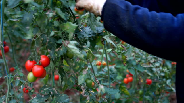farmer taking care of tomatoes in greenhouse - hsyncoban stock videos and b-roll footage