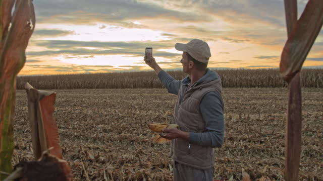 vídeos de stock, filmes e b-roll de ms farmer tomando selfie com uma safra de milho em um campo ao pôr do sol - cena rural