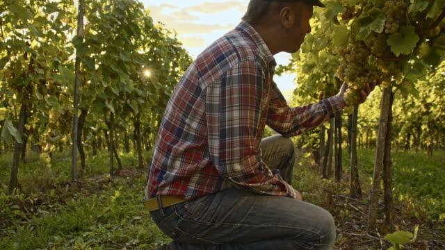 Farmer tasting sweetness of the grape