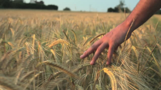 cu pov ts farmer touching barley crops and walking in field / st albans, hertfordshire, united kingdom - bauernberuf stock-videos und b-roll-filmmaterial