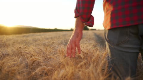 farmer touching golden heads of wheat while walking through field - quality control stock videos & royalty-free footage