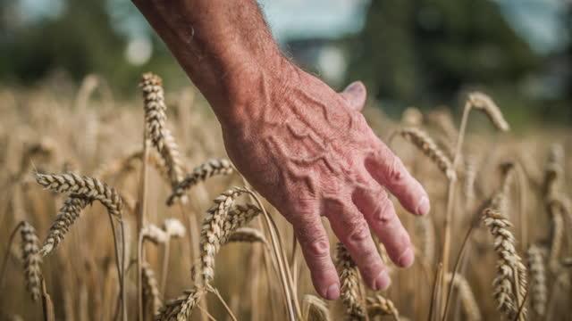 vidéos et rushes de agriculteur touchant des têtes de blé en marchant dans le champ - plan en travelling