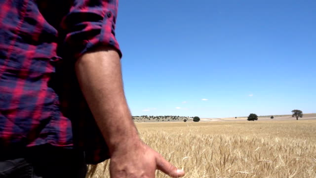 Farmer Touching In Wheat