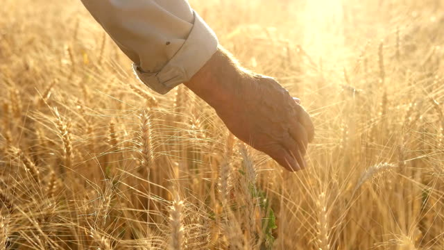 hd slow-motion: farmer touching in wheat - rear view stock videos & royalty-free footage