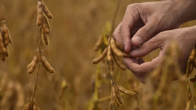 farmer touching soybean pods - 大豆点の映像素材/bロール