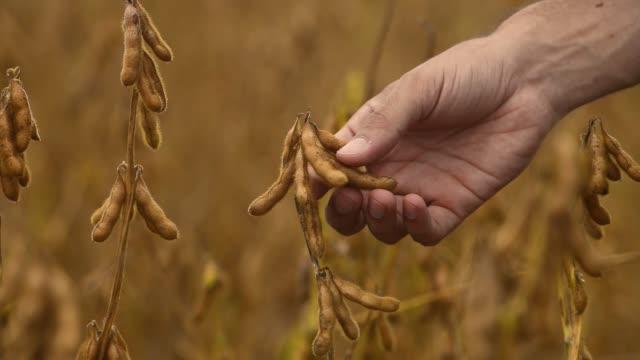 vídeos de stock, filmes e b-roll de farmer touching soybean pods - soja
