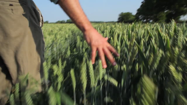 CU WS POV TS Farmer touching wheat crops and walking in field / St Albans, Hertfordshire, United Kingdom
