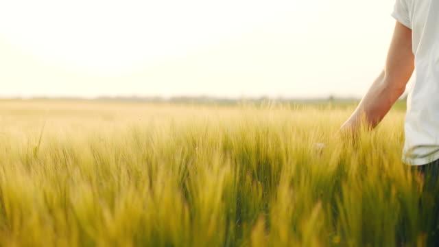 Landwirt Weizen zu berühren. Ernte-Konzept.