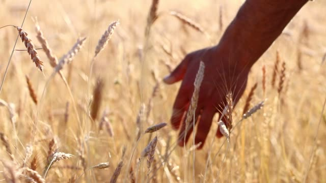 farmer touching wheat - ripe stock videos & royalty-free footage
