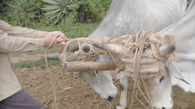 ms tu farmer tying oxen / pinar del rio, cuba - one mid adult man only stock videos & royalty-free footage