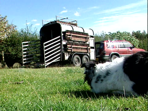 a farmer used whistles and calls to instruct a sheepdog to round up a flock of geese - whistle stock videos & royalty-free footage