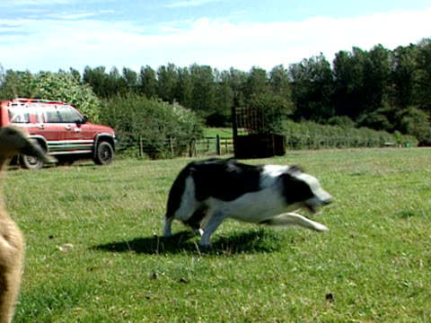 A farmer used whistles and calls to instruct a sheepdog to round up a flock of geese
