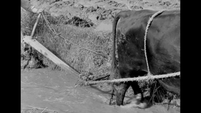 a farmer uses an oxdrawn plow on a field in south korea - 1951 stock videos & royalty-free footage