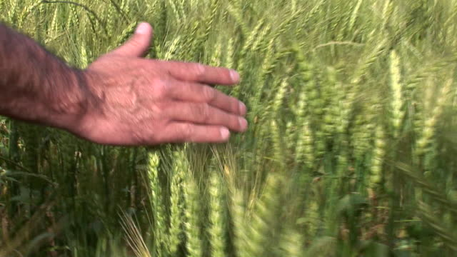 a farmer uses his hand to check wheat husks as he moves across a field. - cereal plant stock videos & royalty-free footage