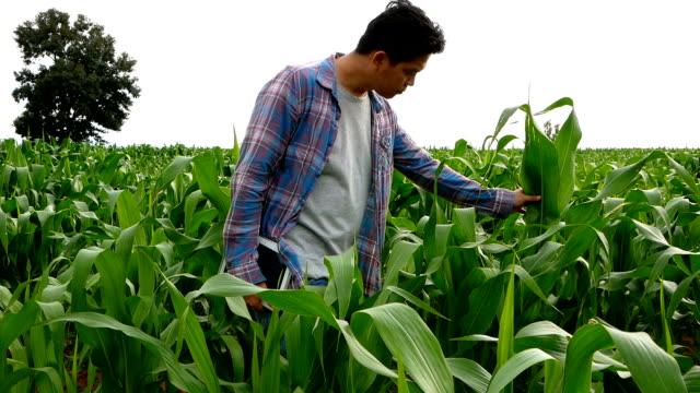Landbouwproducent met gebruikmaking van een digitale tabletcomputer in maïsveld