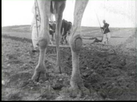 b/w farmer using animal for farming, palestine / audio - palestine stock videos and b-roll footage