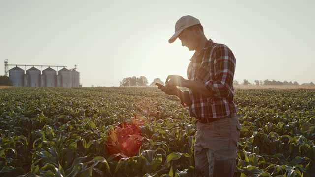 slo mo farmer using his smartphone while walking in the field of corn with silos in the background - 1 minute or greater stock videos & royalty-free footage